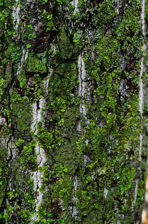 Foto di riserva della corteccia di albero fotografia stock