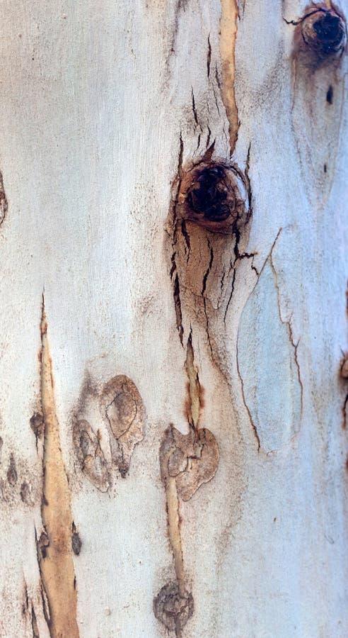 Foto di struttura della corteccia di albero dell'eucalyptus fotografie stock