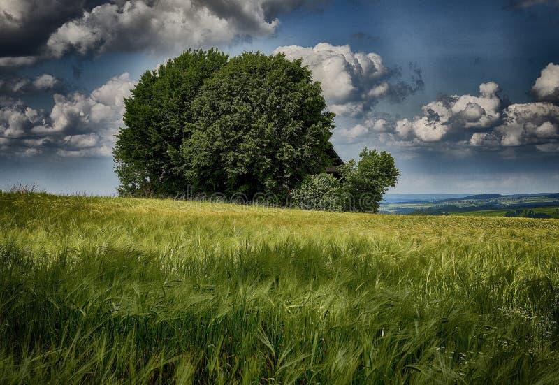 Foto di un albero verde isolato nel campo d'erba sotto il cielo blu nuvoloso in primavera fotografie stock