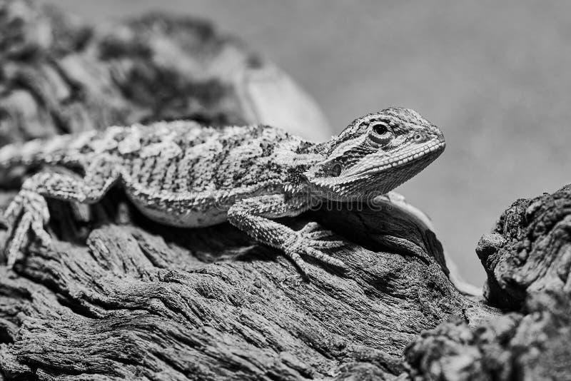 Foto di un bambino barbuto femminile del drago in bianco e nero fotografie stock