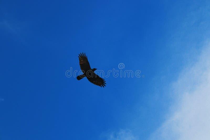 Foto di un corvo preso da sotto fotografie stock libere da diritti