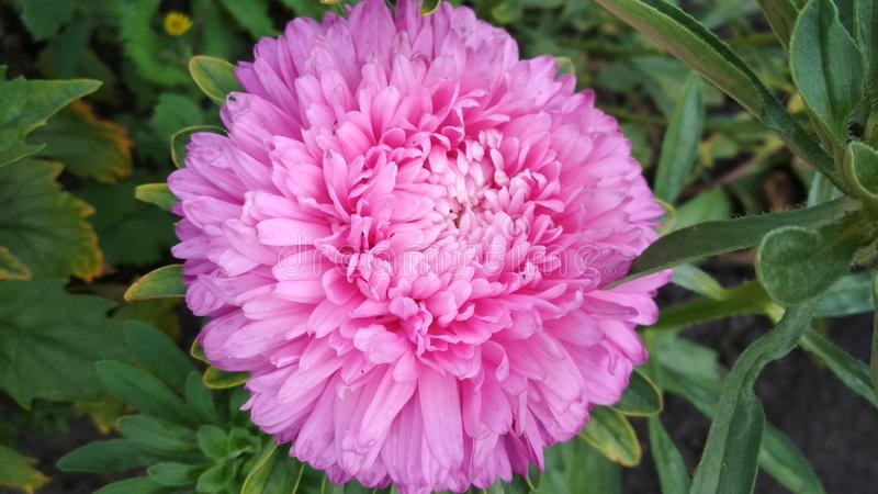 Foto di un fiore dell'aster immagine stock libera da diritti
