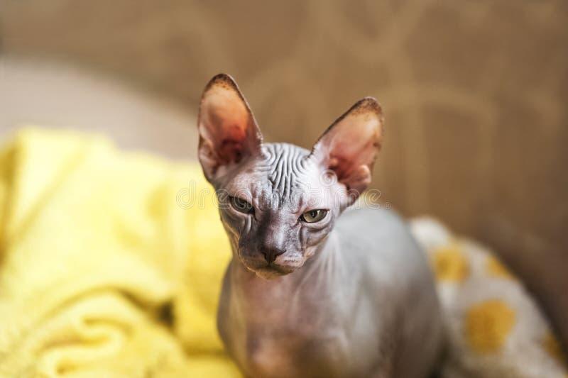 Foto di un gatto domestico della razza di Sphynx Ritratto di un gatto grigio calvo che cammina il sofà e si trova in una coperta fotografia stock