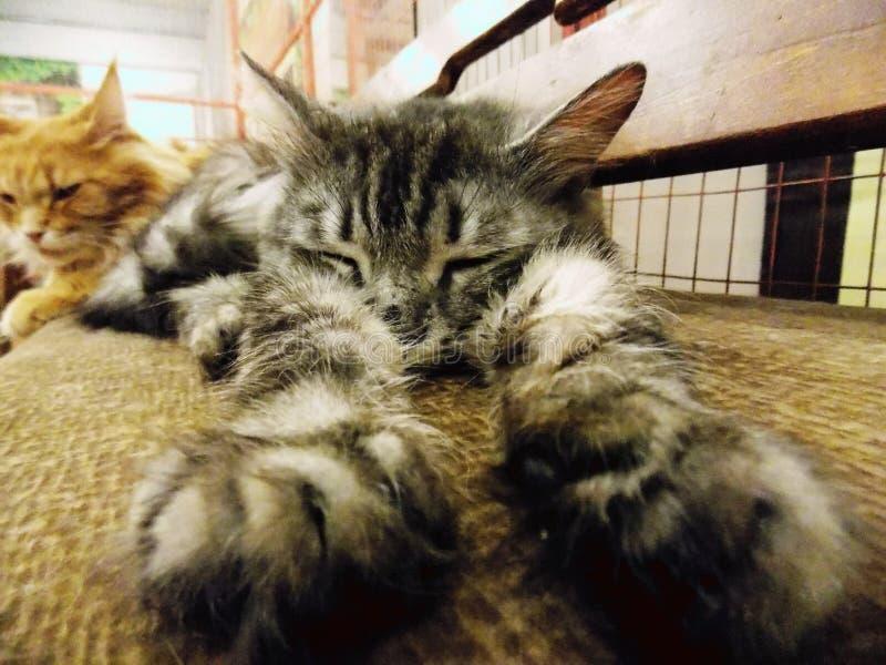Foto di un gatto norvegese della foresta immagine stock libera da diritti