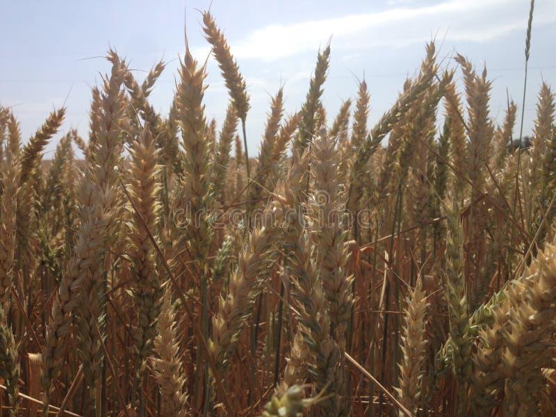 Foto di un giacimento di grano immagine stock libera da diritti