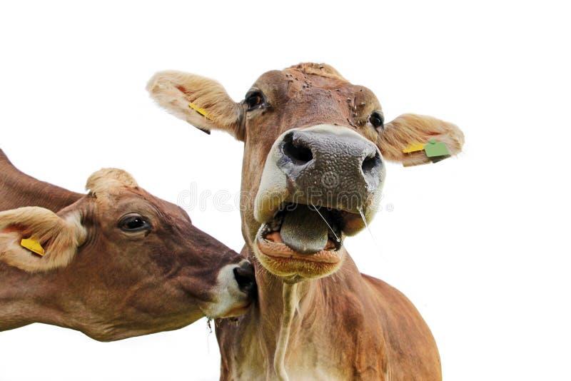 Foto divertida de la vaca Una vaca rellena otra vaca y ésta grita Muh fotografía de archivo libre de regalías
