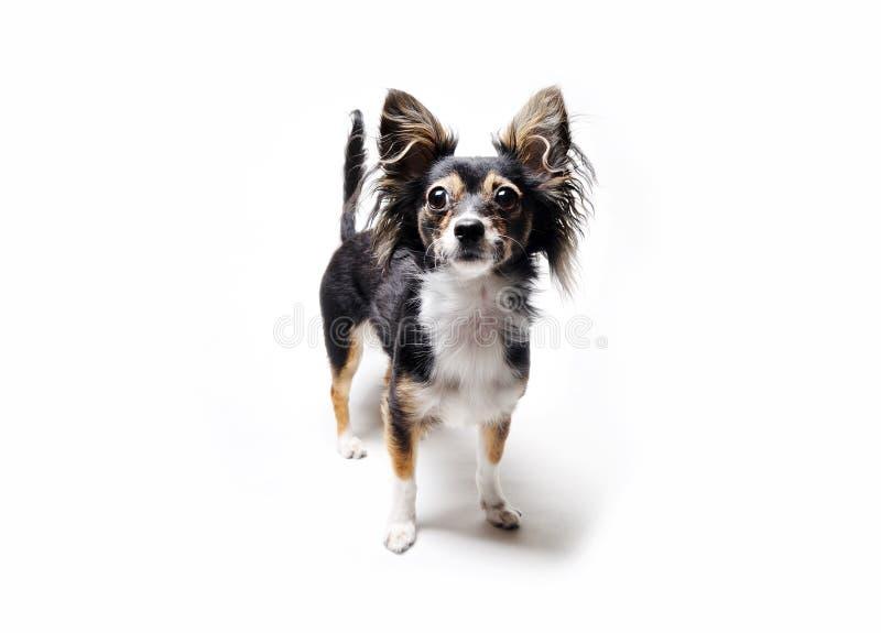 Foto do cão do terrier de brinquedo com sua cabeça que levanta-se isolada no fundo branco fotografia de stock