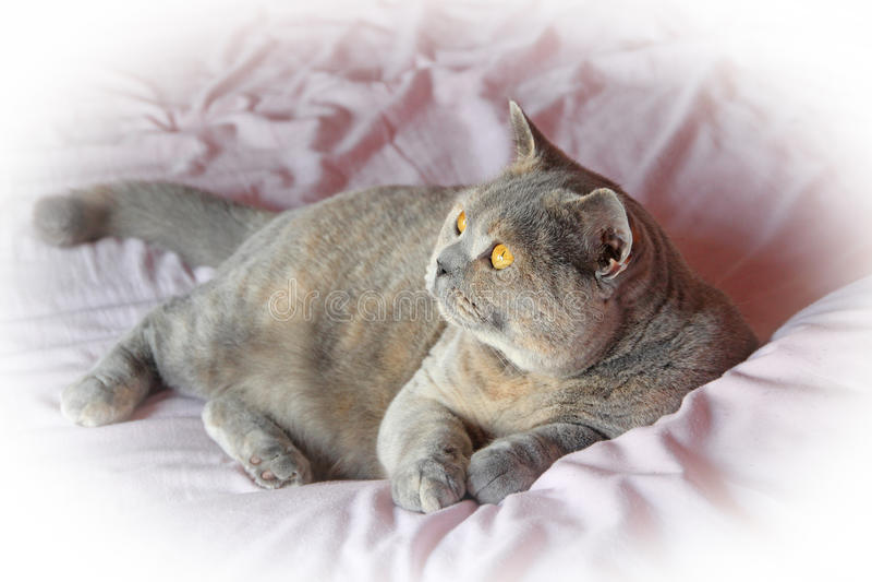 Gato britânico do shorthair do cameo fotos de stock