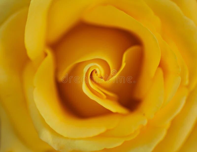 Foto do close up da rosa perfeita do amarelo fotografia de stock