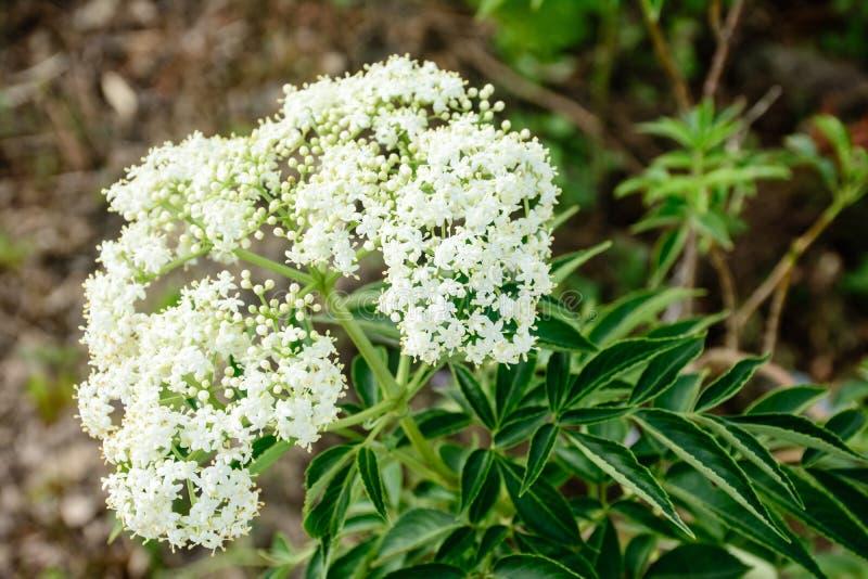 foto do close up da valeriana da flor branca imagens de stock