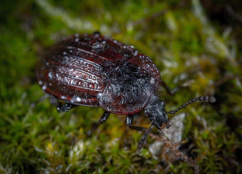 Foto do close up de Brown e do besouro preto na grama verde imagem de stock