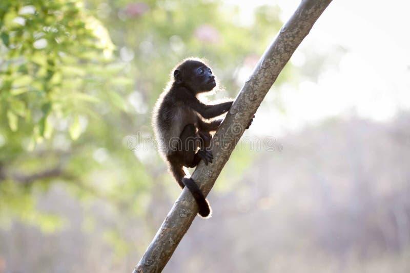 Foto do close up do macaco do bebê de Brown foto de stock