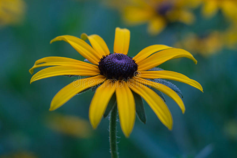 Foto do close up do rudbeckia fotos de stock royalty free