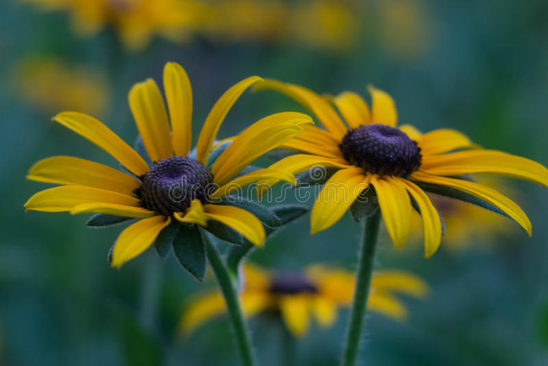 Foto do close up do rudbeckia imagens de stock