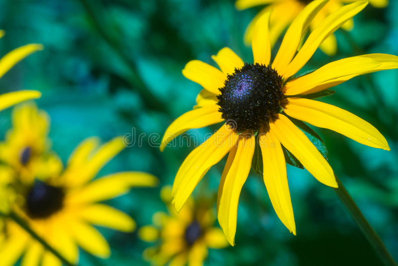 Foto do close up do rudbeckia foto de stock royalty free