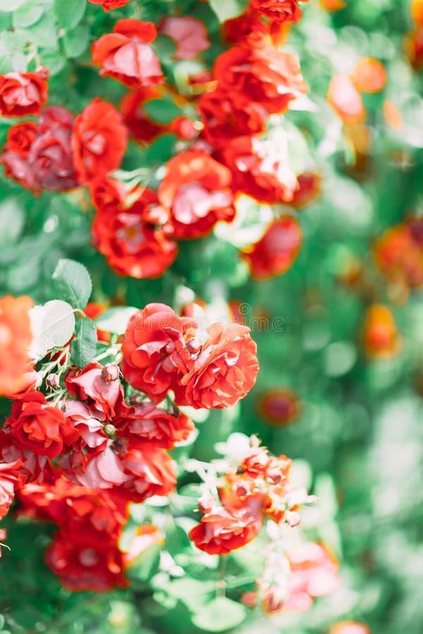 Foto do close-up dos arbustos bonitos com rosas vermelhas imagens de stock