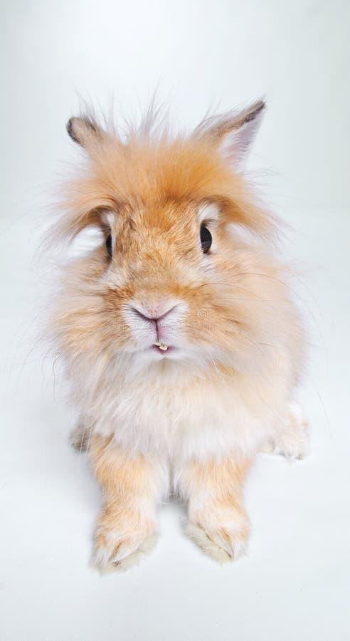 Foto do coelho bonito. No estúdio imagem de stock