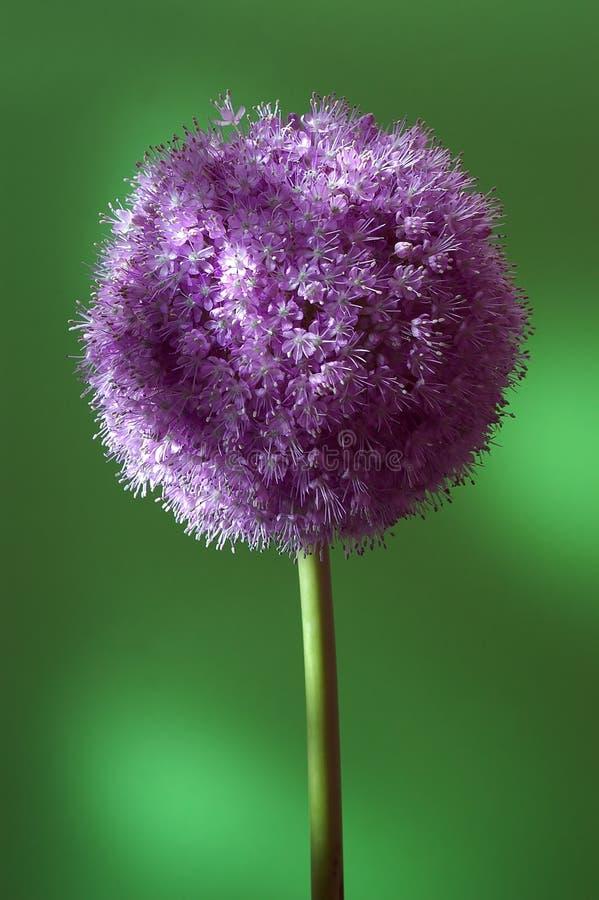 Foto do estúdio da flor colorida fotografia de stock