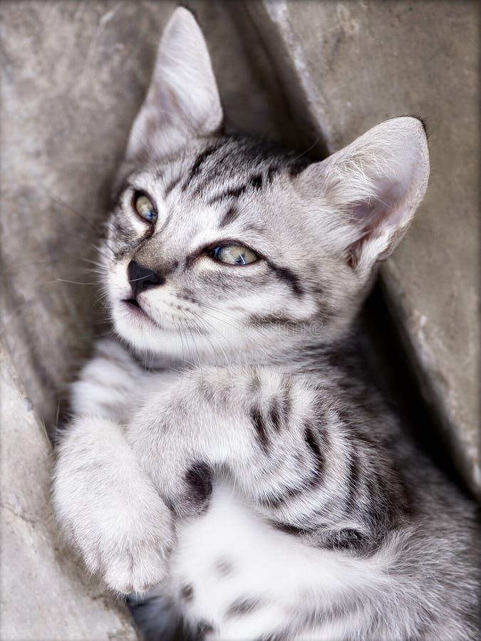 Foto do gato - insolente foto de stock royalty free