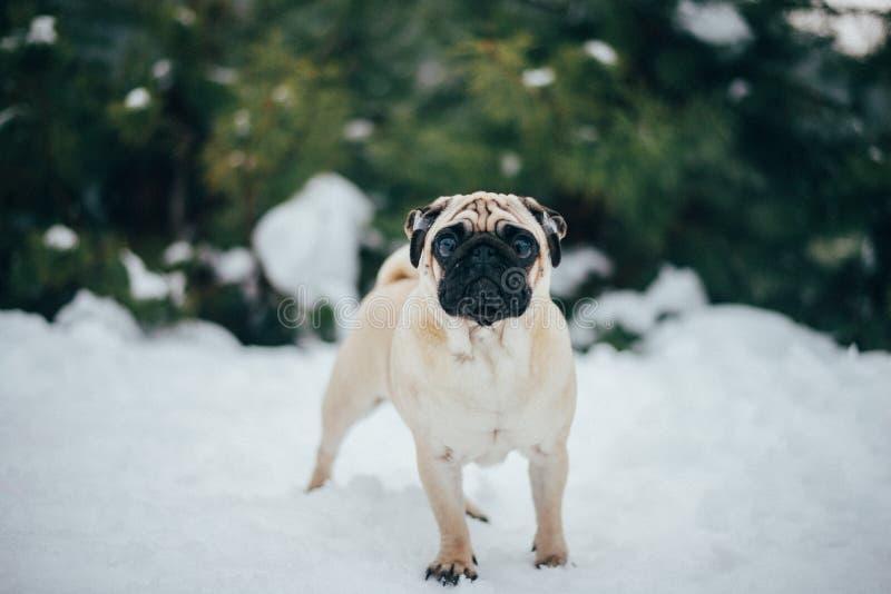 Foto do inverno de um doce pequeno do pug fotos de stock