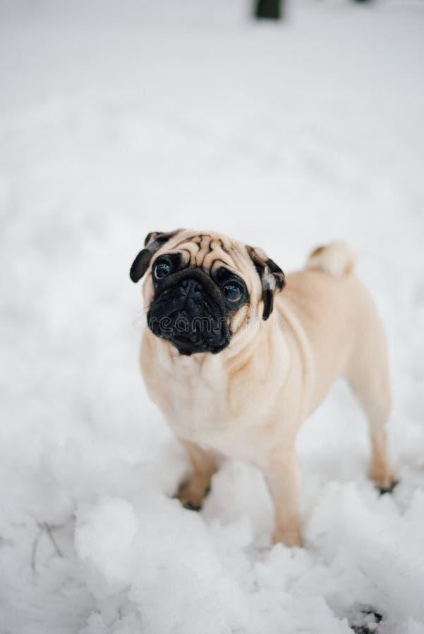 Foto do inverno de um doce pequeno do pug fotos de stock royalty free