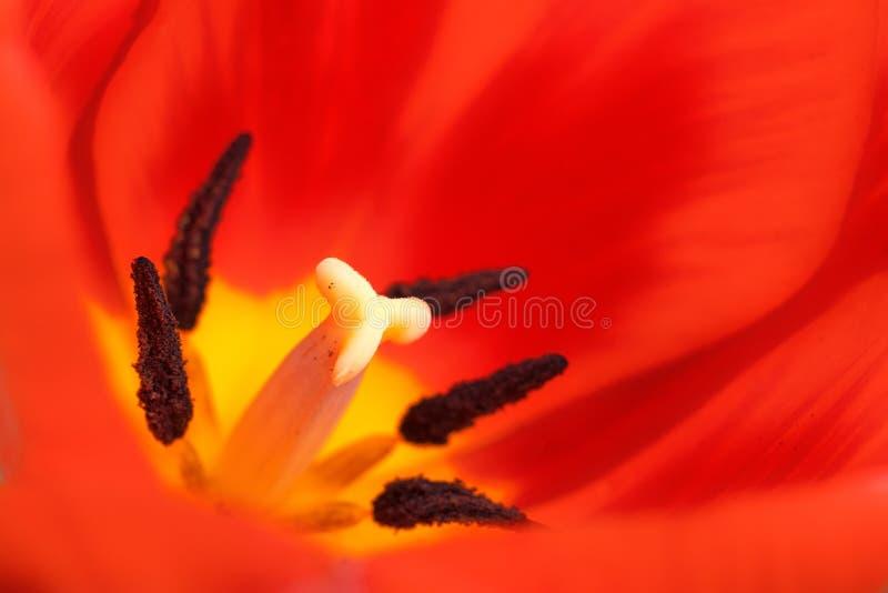 Foto do macro da tulipa foto de stock