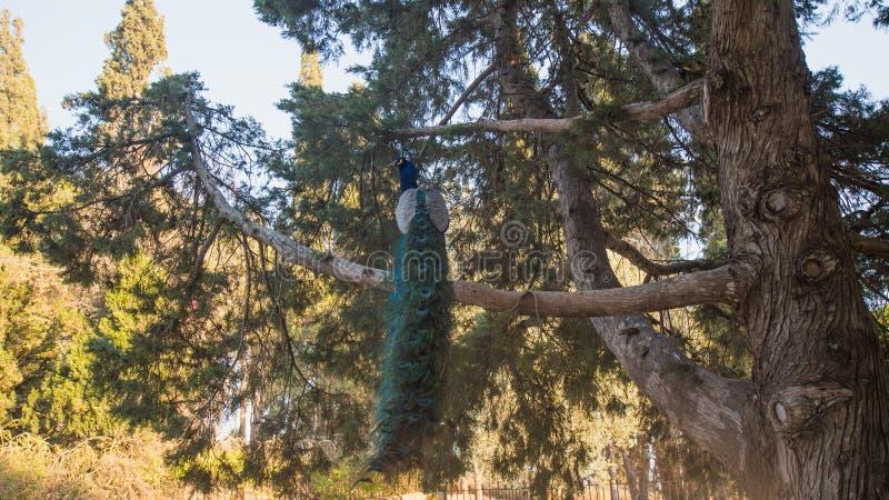 Foto do pavão que senta-se na árvore fotografia de stock