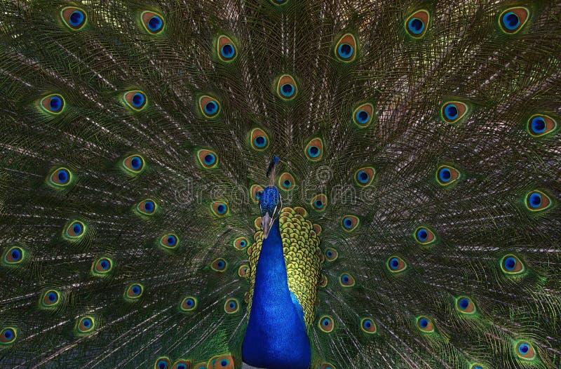 Foto do pavão que ventila penas inteiramente fotos de stock