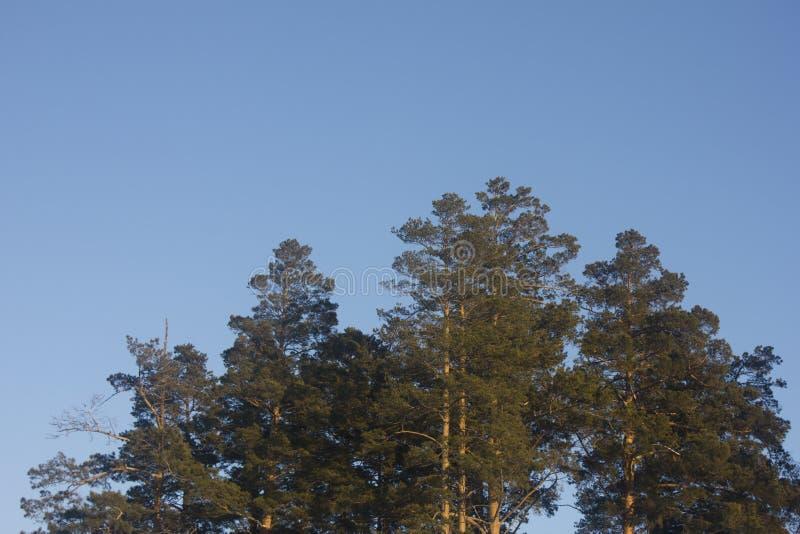 Foto do pinheiro fotografia de stock