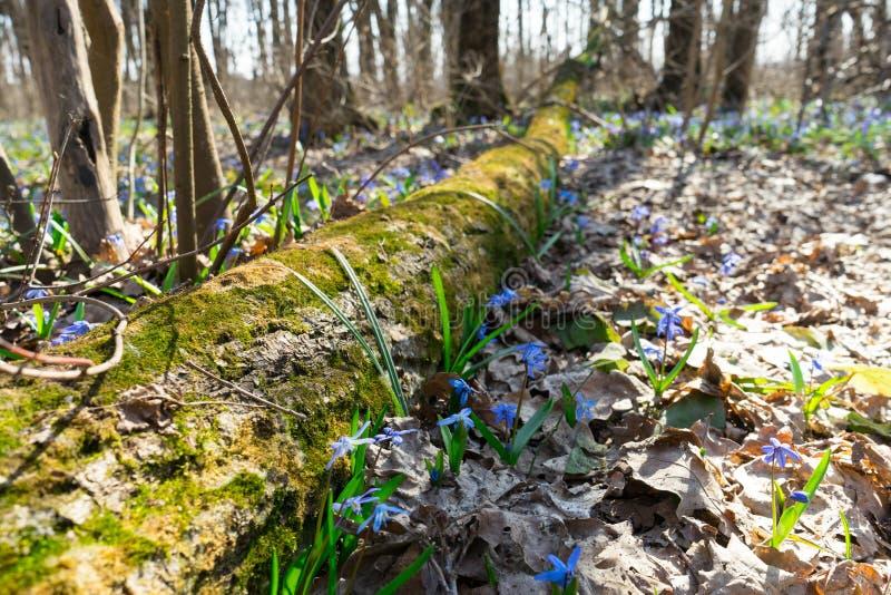 A foto do primeira floresce após o inverno que cresce na floresta selvagem foto de stock