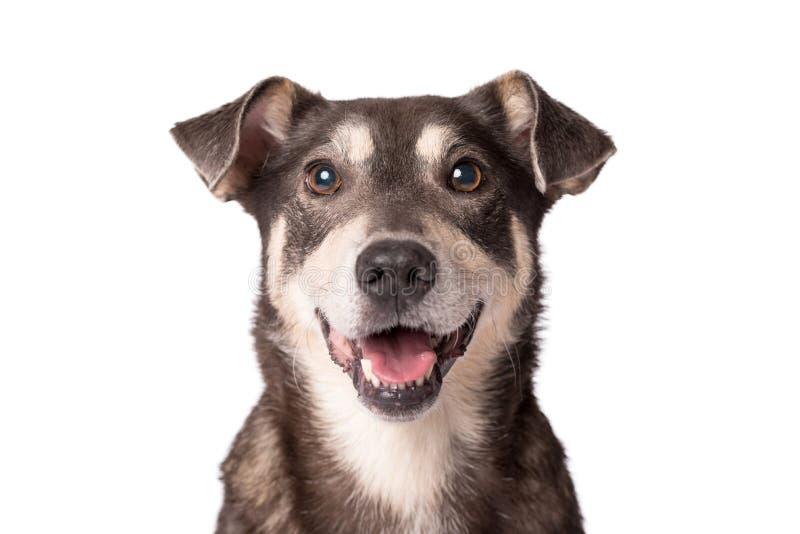 Foto do retrato de um cão adorável do híbrido isolado no branco imagens de stock royalty free