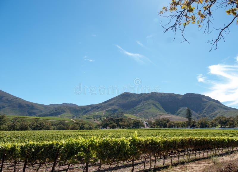 Foto dos vinhedos em Groot Constantia, Cape Town, ?frica do Sul, tomada em um amanhecer claro Montanhas na dist fotografia de stock royalty free