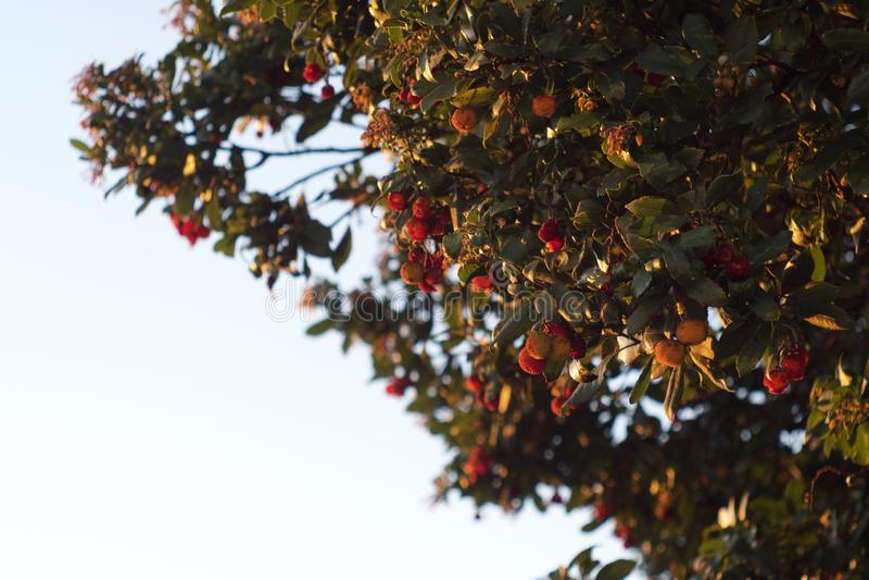 Foto dourada da hora de uma árvore do arbutus fotos de stock royalty free