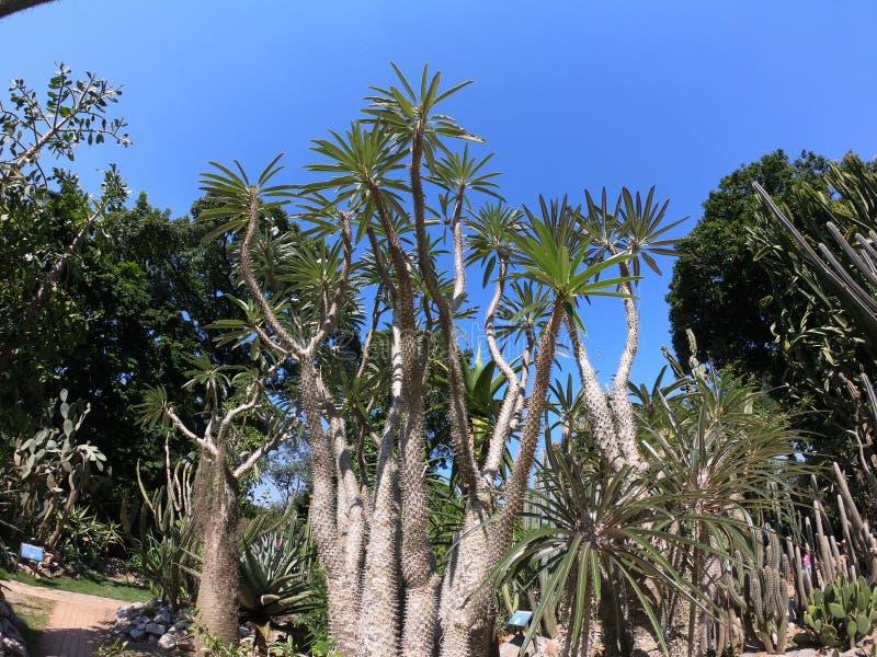 Foto een exotische die boom op een zonnige de herfstdag wordt genomen in Botanische Tuin van Rio de Janeiro - Brazilië royalty-vrije stock fotografie