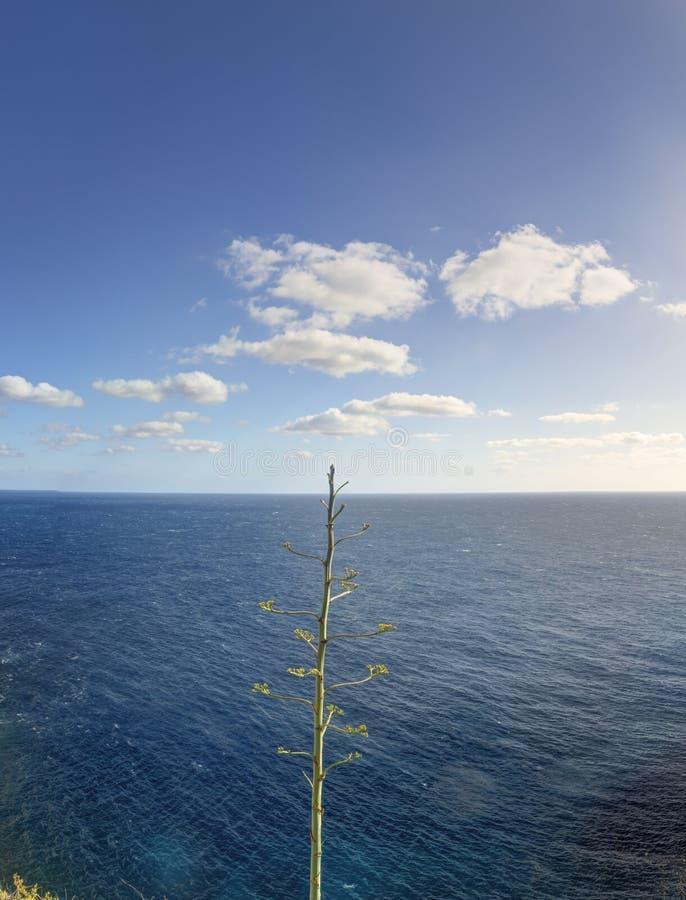 Foto einer blühenden Agavenanlage gegen Meer und des blauen Himmels mit Wolken stockfotografie