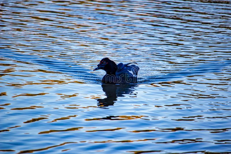 Foto einer Cairina moschata alias Wildente, typischer Vogel von Sumpfgebieten von Latein-Amerika lizenzfreie stockfotos