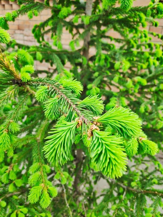 Foto einer hellgrünen Niederlassung einer jungen Weihnachtsbaumnahaufnahme an einem sonnigen Tag gegen eine unscharfe Backsteinma lizenzfreie stockbilder