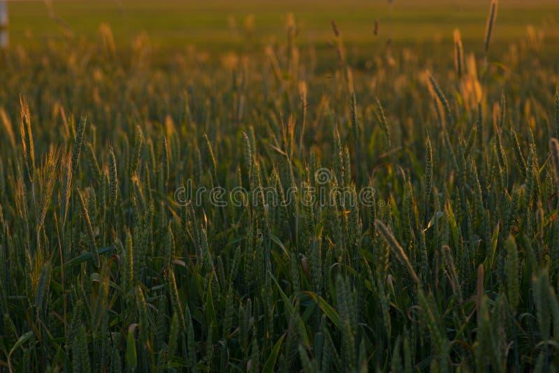Foto eines grünen Weizenfeldes an einem ruhigen Sommerabend lizenzfreies stockfoto