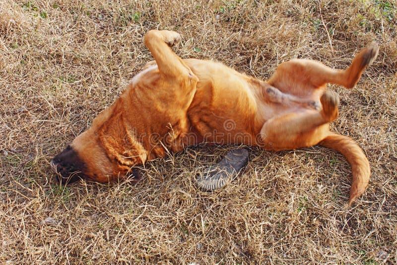 Foto eines Zuchthundes dogue de bordeaux, der die Feiertage macht, die aus den Grund rollen Spielen stockfotografie