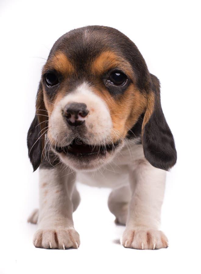 A foto engraçada de um cão, lebreiro do cachorrinho com a boca abriu comer algo imagem de stock