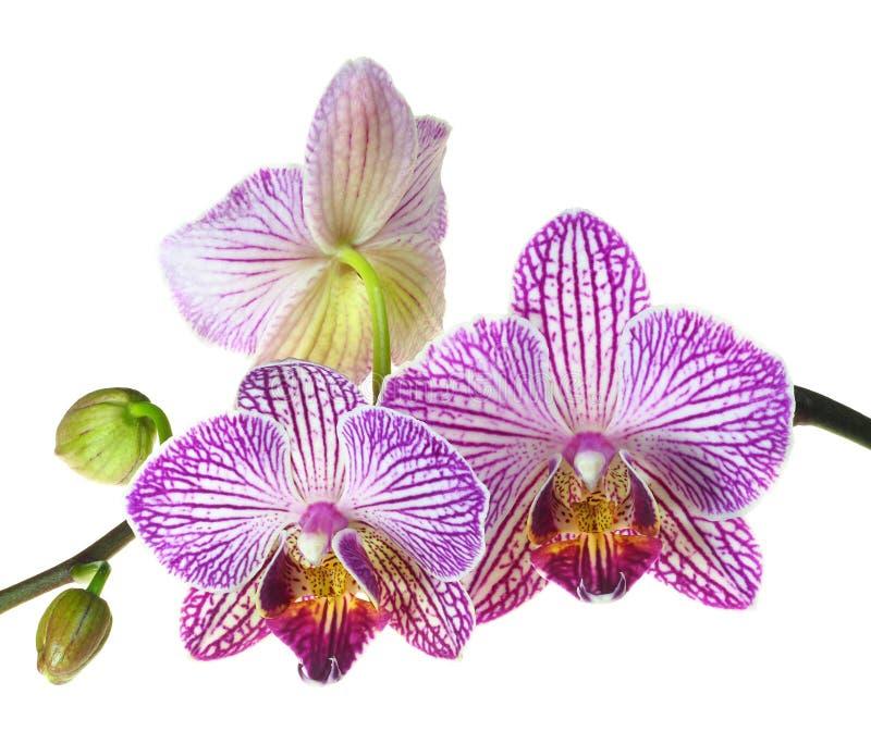 Foto estrema di profondità di campo delle fioriture delle tre orchidee immagine stock libera da diritti
