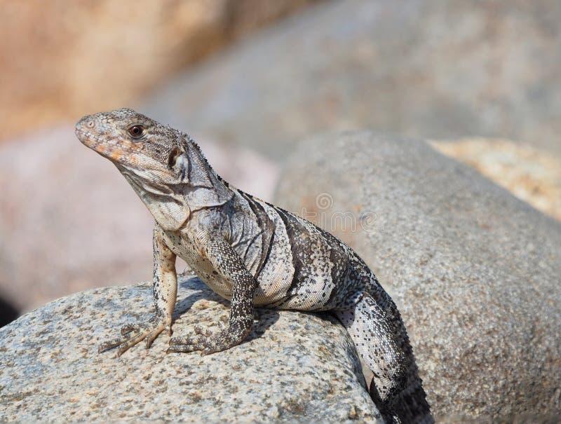 Foto estrema di profondità di campo di giovane iguana immagini stock
