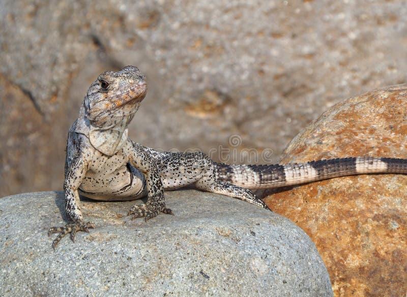 Foto estrema di profondità di campo di giovane iguana fotografie stock libere da diritti