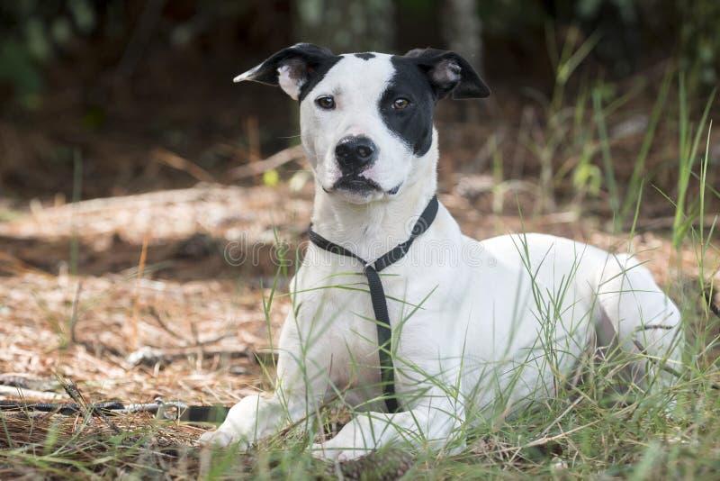 Foto för adoption för husdjur för hund för byracka för avel för pekarebulldogg blandat fotografering för bildbyråer