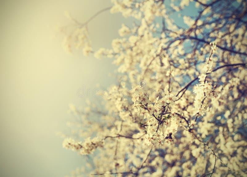 Foto för bakgrund för tappningträdblomma av det härliga körsbärsröda trädet royaltyfria bilder