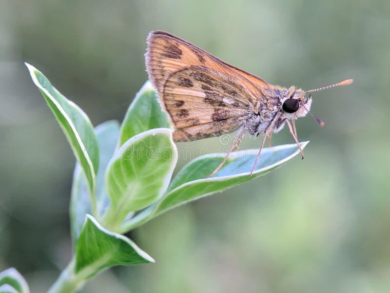 Foto för fjärilslivmakro i min trädgård arkivbild
