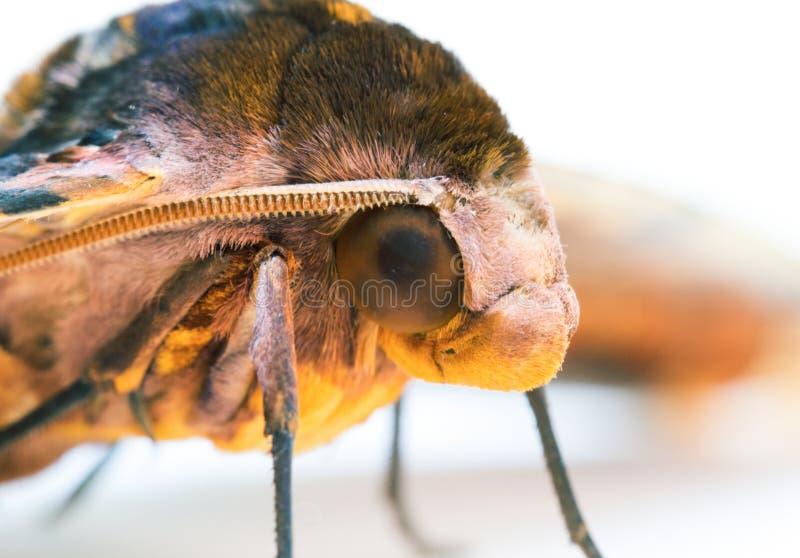 Foto för makro för ligusterHawk Moth huvud på vit bakgrund royaltyfri bild