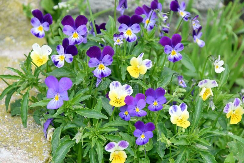 Foto för materiel för trädgård för lösa blommor för Violets mycket små hem- arkivbild