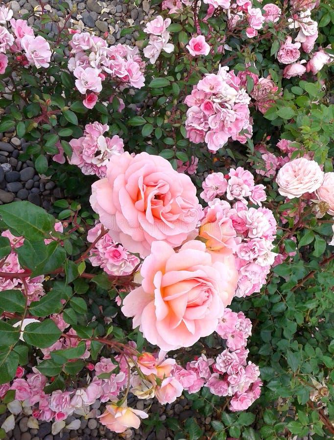 Foto för natur för sommar för gräs för trädgård för rosa färgrosblomma fotografering för bildbyråer