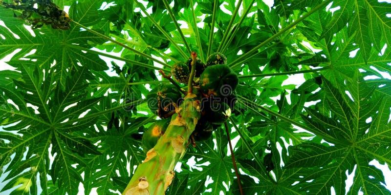 Foto för svamp sjukdom för Papayaträd arkivbilder